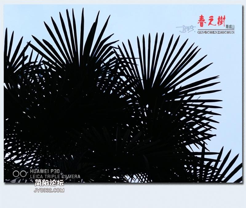青城之树——11.jpg